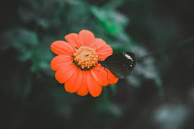 pictures of the flower. Simple The Black Butterfly On Orange Flower On Pictures Of The Flower R