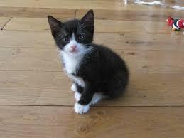 black and white kittens for sale. Fine Black Kittens For Sale Cute Playful Cuddly Black And White For Black And White Sale Gumtree