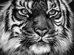 tiger black and white drawing. Exellent White And Tiger Black White Drawing T