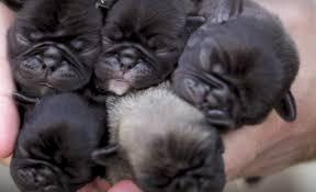 newborn pug puppies. Contemporary Pug Inside Newborn Pug Puppies B