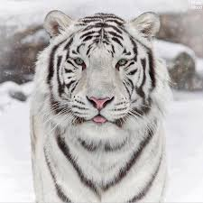 white tiger with blue eyes in snow. Fine Snow Whitetigerswith Blueeyessnowphotomoodatmosphere Intended White Tiger With Blue Eyes In Snow C