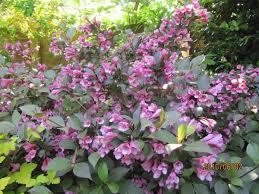 Weigela florida (Weigela) | North Carolina Extension Gardener Plant ...