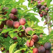 Stone Fruits For Minnesota GardensPlum Tree Flowers But No Fruit