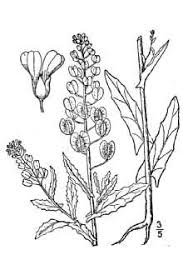 Plants Profile for Thlaspi arvense (field pennycress)