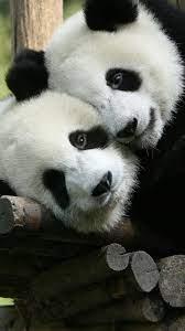 Cute Panda Animals 4K Wallpaper #4.550