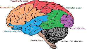 Brain Chart Zenolian Brain Zenology Wiki Fandom Powered By Wikia