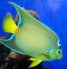18 Different Types Of Angelfish to Consider For Your Freshwater Fish Tank