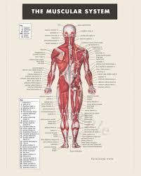 Digital Print Instant Download Muscular System Anatomy