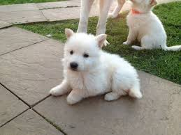 white german shepherd husky mix puppy. Fine Husky White German Shepherd Puppies And White German Shepherd Husky Mix Puppy M