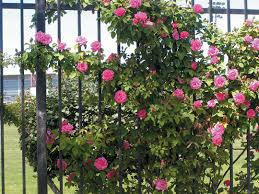 5 FastClimbing Vines For Your Garden  Plants Gardens And 30thWall Climbing Plants Southern California
