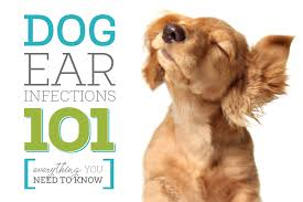 dog ear infections 101 everything you