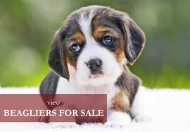 beaglier puppies for