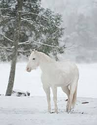 white horses in snow. Delighful Horses Beautiful White Horses In Snow  Google Search Intended White Horses In Snow