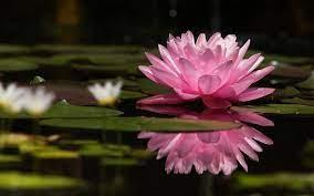 Lotus Flower Wallpapers - Top Free ...