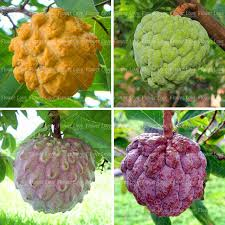 2017 Buy Real Annona Squamosa Fruit Tree Seeds Plant Sweetsop Grow Annona Fruit Tree