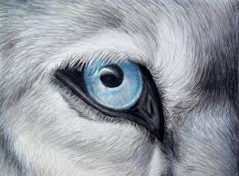 gray wolf drawing colored. Wonderful Colored Icy Glance  Silver Gray Wolf Blue Eye Colored Pencil Drawing Painting For W
