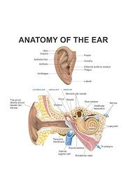 Anatomy Of The Human Ear Diagram Chart Mural Giant Poster 36x54 Inch