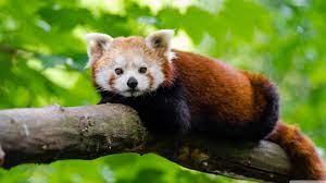Red Panda Ultra HD Desktop Background ...