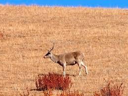 Tibetan red deer