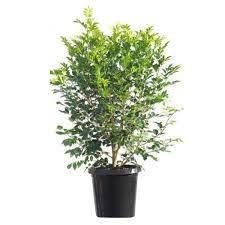 Murraya paniculata(Orange jessamine ...