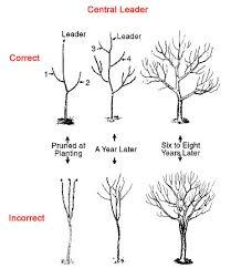 Meyer Lemon Tree Guide The Tree Center