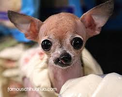miracle chihuahua born with a cleft lip