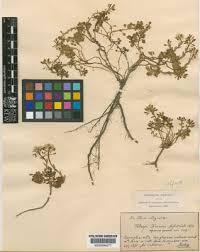 Thlaspi L. | Plants of the World Online | Kew Science