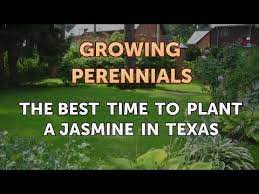 to plant a jasmine in texas