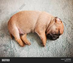 newborn baby pugs. Modren Newborn Adorable  For Newborn Baby Pugs