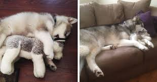then now this dog destroys every stuffed except this one bored panda