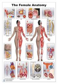 Woman Anatomy Chart Amazon Com Woman S Health 24x36 Office Products