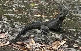 File:Aust Gippsland Water Dragon ...