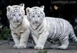 cute baby tiger. Brilliant Baby Cute Baby Tigers And Tiger E