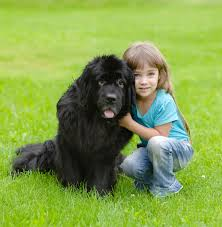 Newfoundland Dog Photos Show How ...