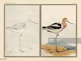 Small Picture American Avocet Pictures Getty Images