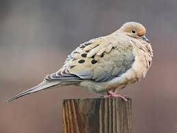 Mourning Dove Age Chart Eurasian Collared Dove Identification All About Birds