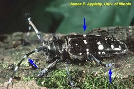 Pest Alert Asian Longhorned Beetle