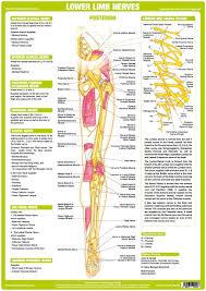 Nervous System Anatomy Charts Set Of 6 Nerve Anatomy