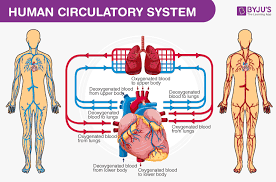 They are one of the major systems of human and animal bodies. Human Body Anatomy And Physiology Of Human Body