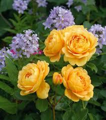Rosa Anne Boleyn Rose Anne Boleyn English Rose Anne Boleyn Fragrant Rose Plants