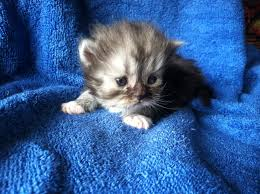 black cats with blue eyes for sale. Delighful Sale Buffalo Creek Farms Persian Kittens For Sale And Black Cats With Blue Eyes U