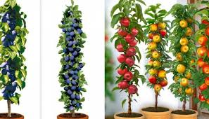 columnar fruit trees ideal for growing in pots on patios or balconies
