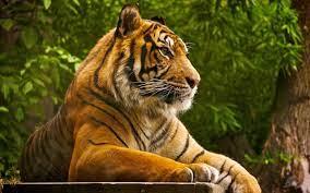 Tiger Desktop Wallpapers - Top Free ...