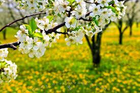 spring flowering tree photo information