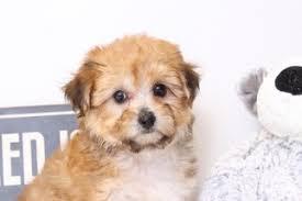 cooper male yo chon puppy