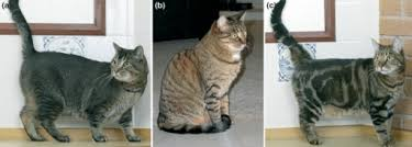 Tabby Patterns Classy Tabby Patterns In The Domestic Shorthair Cats A Abys Openi