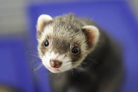 Rodents Lower Classifications Are Ferrets Rodents