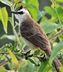 This application may be useful as a support to train the bird sounds trucukan you have. 9000 Gambar Burung Trucukan Hd Paling Baru Gambar Id