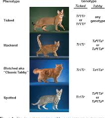 Tabby Patterns Enchanting Figure 48 From Tabby Pattern Genetics A Whole New Breed Of Cat