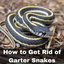 how to get rid of garter snakes without killing them 7 tried and true ways